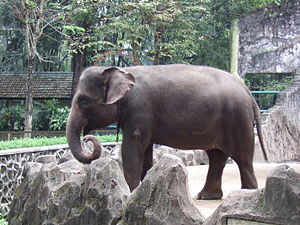 English: Sumatran Elephant, Elephas maximus su...