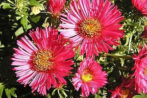 English: asters