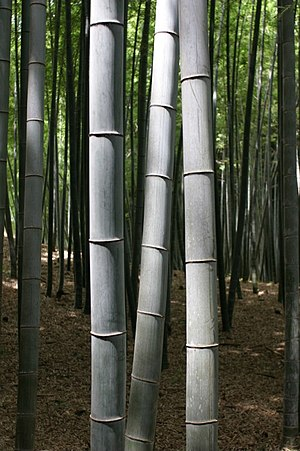 a Bamboo grove in Kyoto Japan.