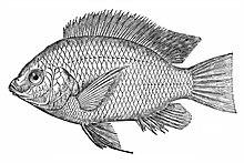 O. niloticus niloticus