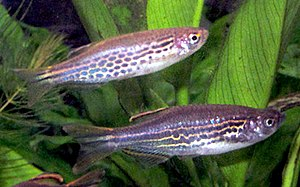 Both colour morphs of Danio kyathit, showing i...