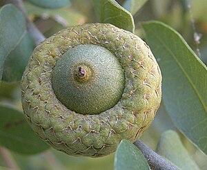 An acorn grown on an oak tree.