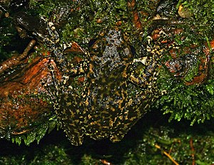 The Waterfall Frog (Litoria nannotis) of Austr...