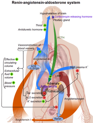 Overview of the renin-angiotensin system (See ...