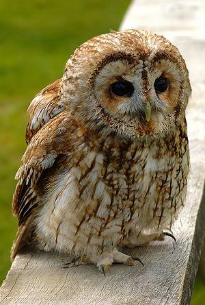 A tawny owl (Strix aluco). Français : Une chou...