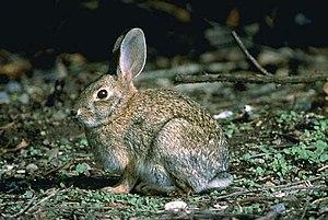 English: Brush Rabbit (Sylvilagus bachmani)