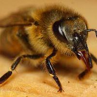 Descubren el ingrediente en la jalea real que convierte a una abeja en reina