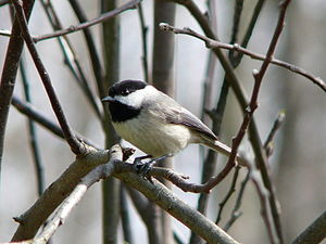 Chickadee (Public Domain)