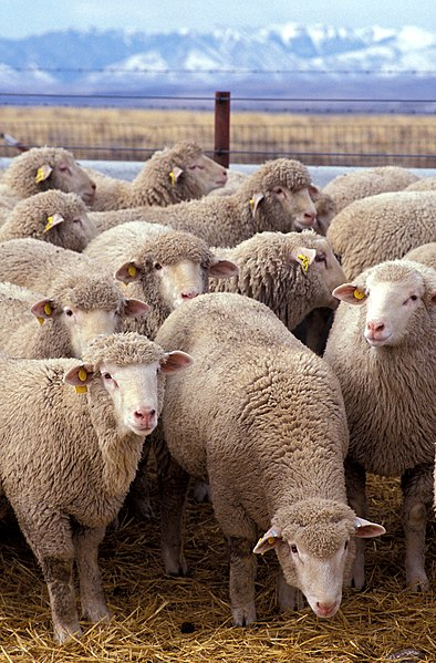 Sheep in Wikipedia