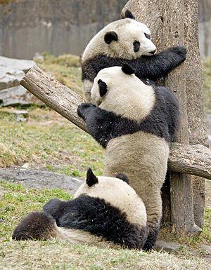 Pandas!! (GIANT PANDA/WOLONG/SICHUAN/CHINA)