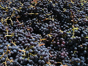 Grenache grapes from Santa Barbara California