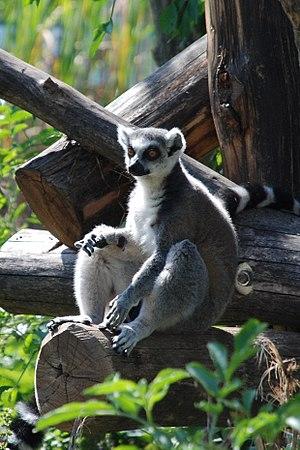 English: A Ring-tailed Lemur (Lemur catta) in ...
