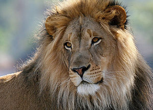 English: Male lion