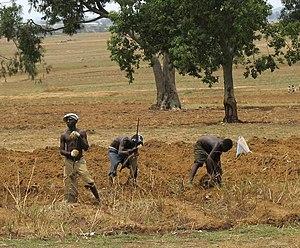 Nigerian farmers working in field in Middle Belt