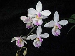 Cultivated Phalaenopsis lindenii