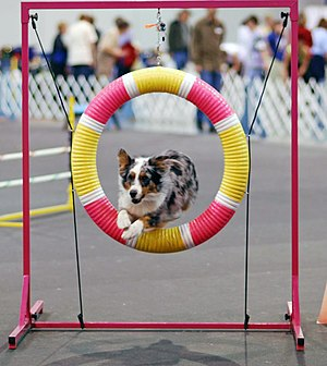 An Australian Shepherd doing agility at the Ro...