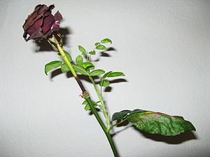 Dead rose with fresh sprout