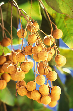 Thomson operated the only longan orchard in th...