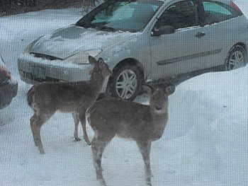 English: Two white-tailed deer in a residentia...