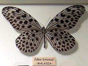 Idea lynceus