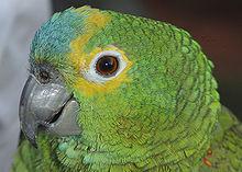 Papagaio (macho nasc. 2006), Avaré