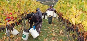 "From author: ""Wine grape harvest at Grant..."