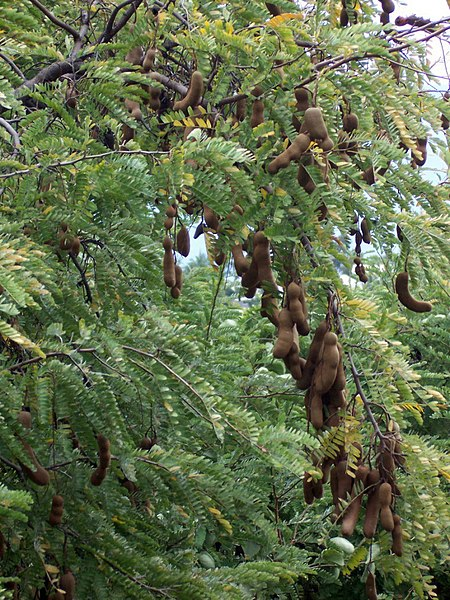Berkas:Tamarindus indica pods.JPG
