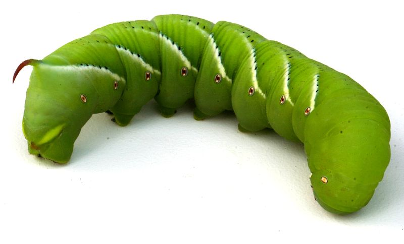 File:Tobacco hornworm 1.jpg