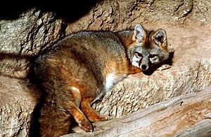 English: Gray Fox (Urocyon cinereoargenteus), ...