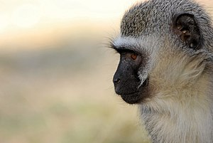 English: vervet monkey in the Kruger NP