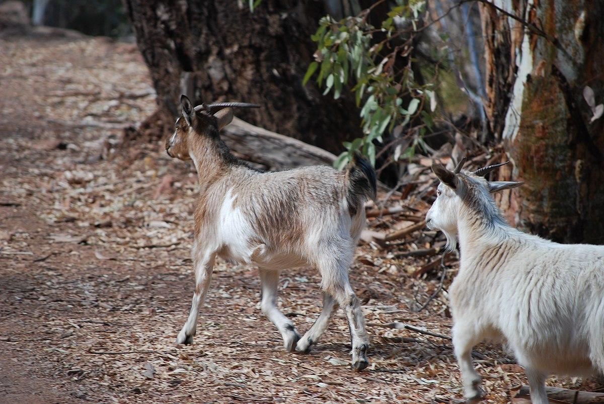 Feral Goats In Australia