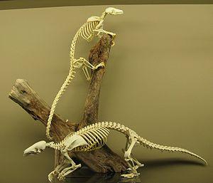 English: Pangolin Skeletons on Display at The ...