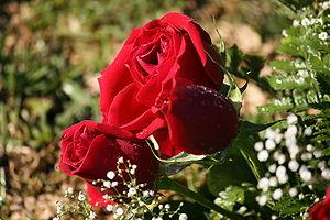 English: Red Roses By Sasukekun22