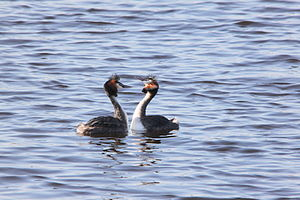 English: Two grebes in love Nederlands: Twee f...