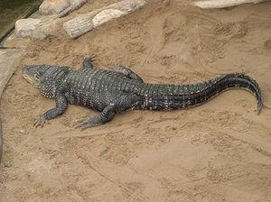 American Alligator (Alligator mississipiensis)...