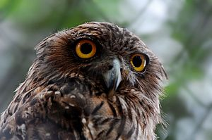 English: Brown Fish owl, Ketupa zeylonensis. മ...