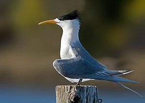 Crested Tern (Thalasseus bergii), in breeding ...