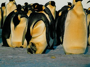 Emperor Penguin feeding a chick