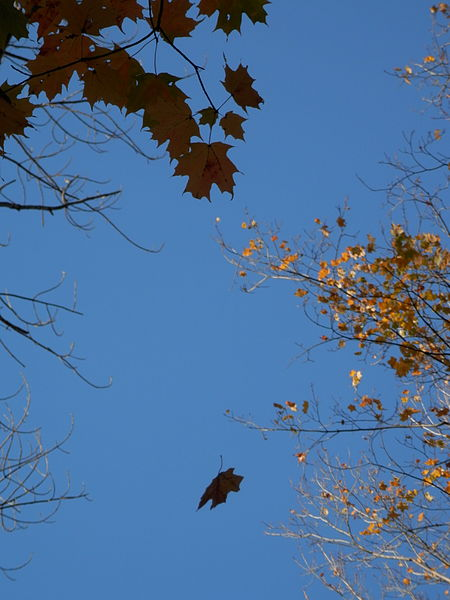File:Falling Leaf.JPG