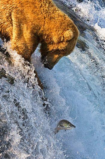 English: Grizzly Bear (Ursus arctos horribilis...