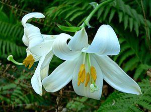 Flowers of Lilium candidum