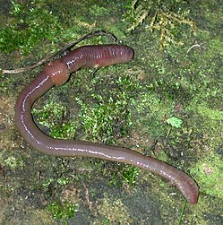 Lumbricus terrestris, the Common European Earthworm