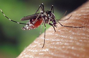 A blood-engorged female Aedes albopictus mosqu...