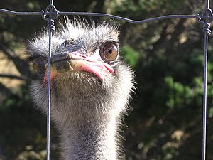 The Ostrich Struthio camelus is now farmed, pr...
