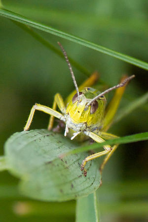 English: A grasshopper face to face, on a leaf...