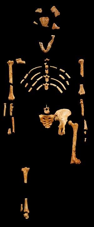 « Lucy » skeleton (AL 288-1) Australopithecus ...