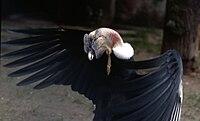 Vultur gryphus male.jpg