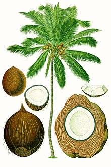 Kelapa (Cocos nucifera)