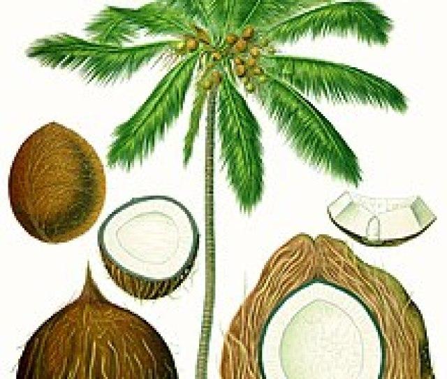 Coconut Palm Cocos Nucifera