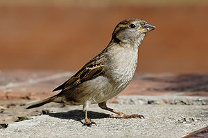 English: Female House Sparrow, Bairnsdale Aust...